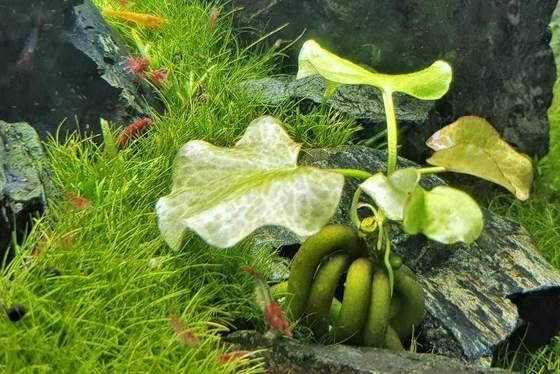 Planta de banano: una planta de acuario inusual para principiantes