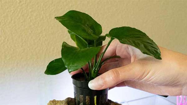 anubias o helechos de java dentro de un Easy Planter