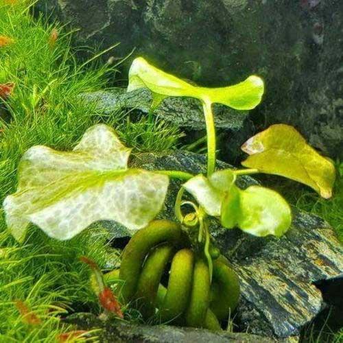 Planta del plátano (Nymphoides aquatica)