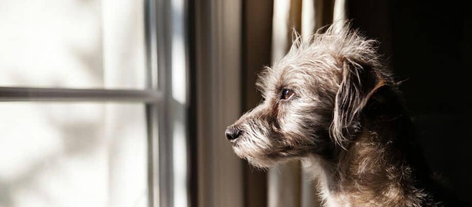 Hund schaut alleine aus dem Fenster, Unbeaufsichtigter Hund
