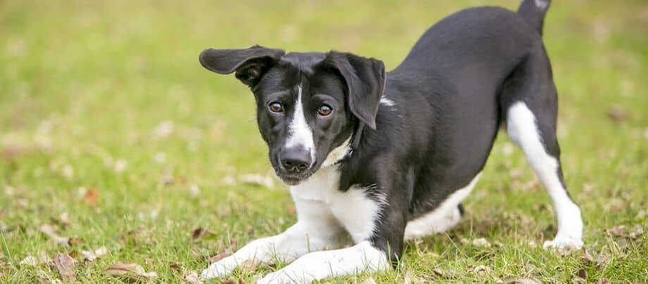 Hund liegt auf Vorderbeinen, Körpersprache des Hundes