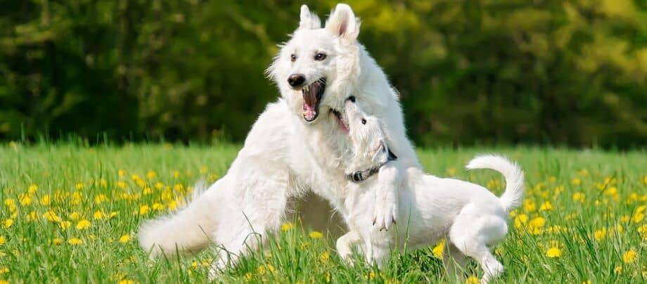 Junge wilde Hunde spielen, Pubertäre Hunde
