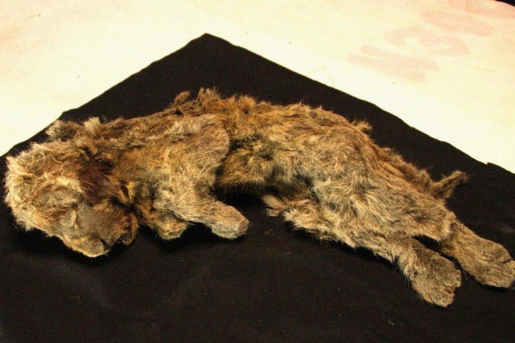Cachorro de león mantenido en permafrost