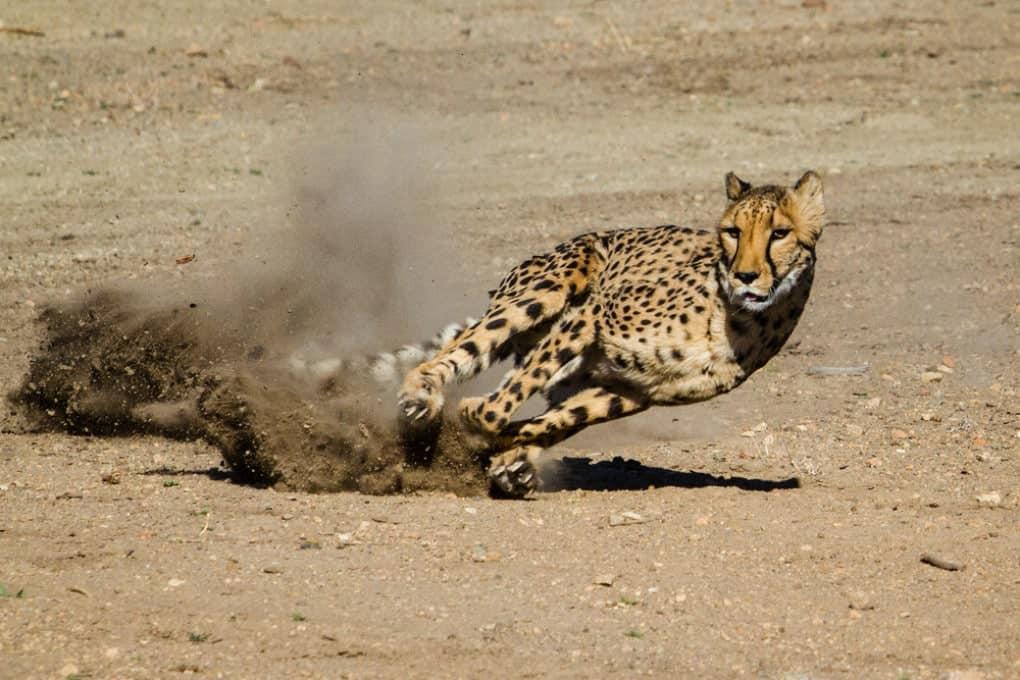 Un jaguar corriendo puede alcanzar los 130 km / h.