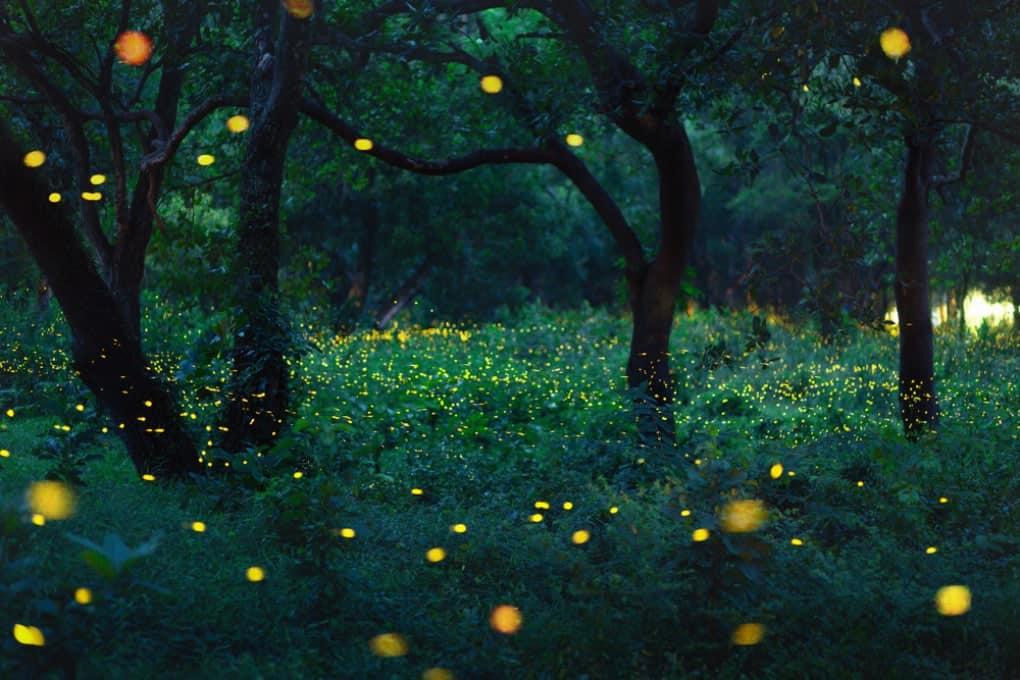 El maravilloso espectáculo de las luciérnagas.