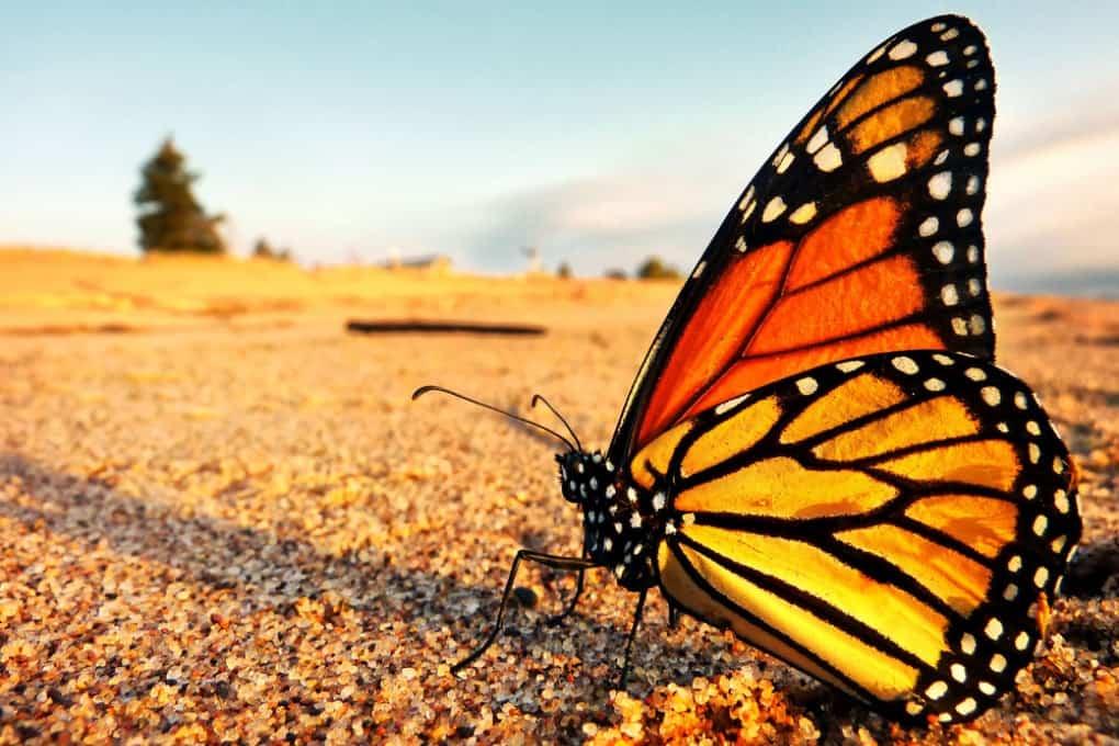 Una mariposa monarca (Danaus plexippus).