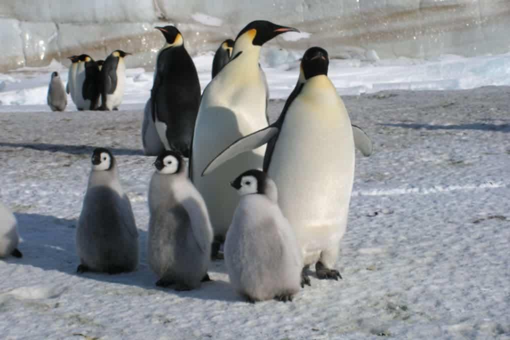 Un grupo de pingüinos emperador.