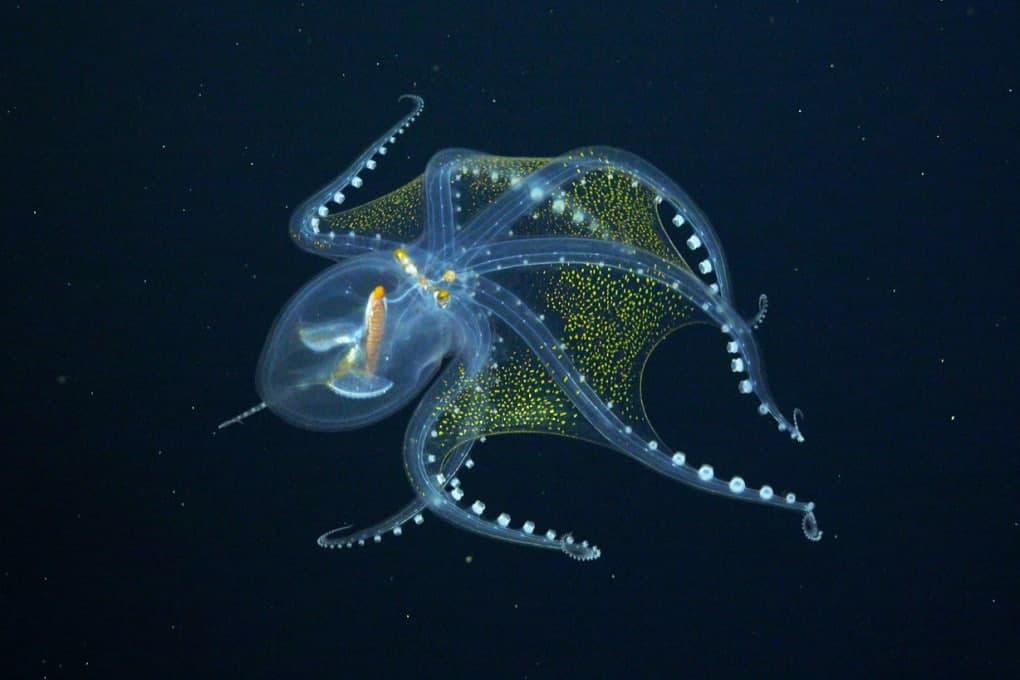 Un pulpo de cristal (Vitreledonella richardi), uno de los maravillosos animales de aguas profundas que encontró el barco Falkor.