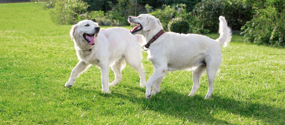 Zwei Hund spielen miteinander.